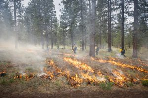 Low-intesity flames travel across the forest floor during a carefully planned prescribed fire at the Museum.