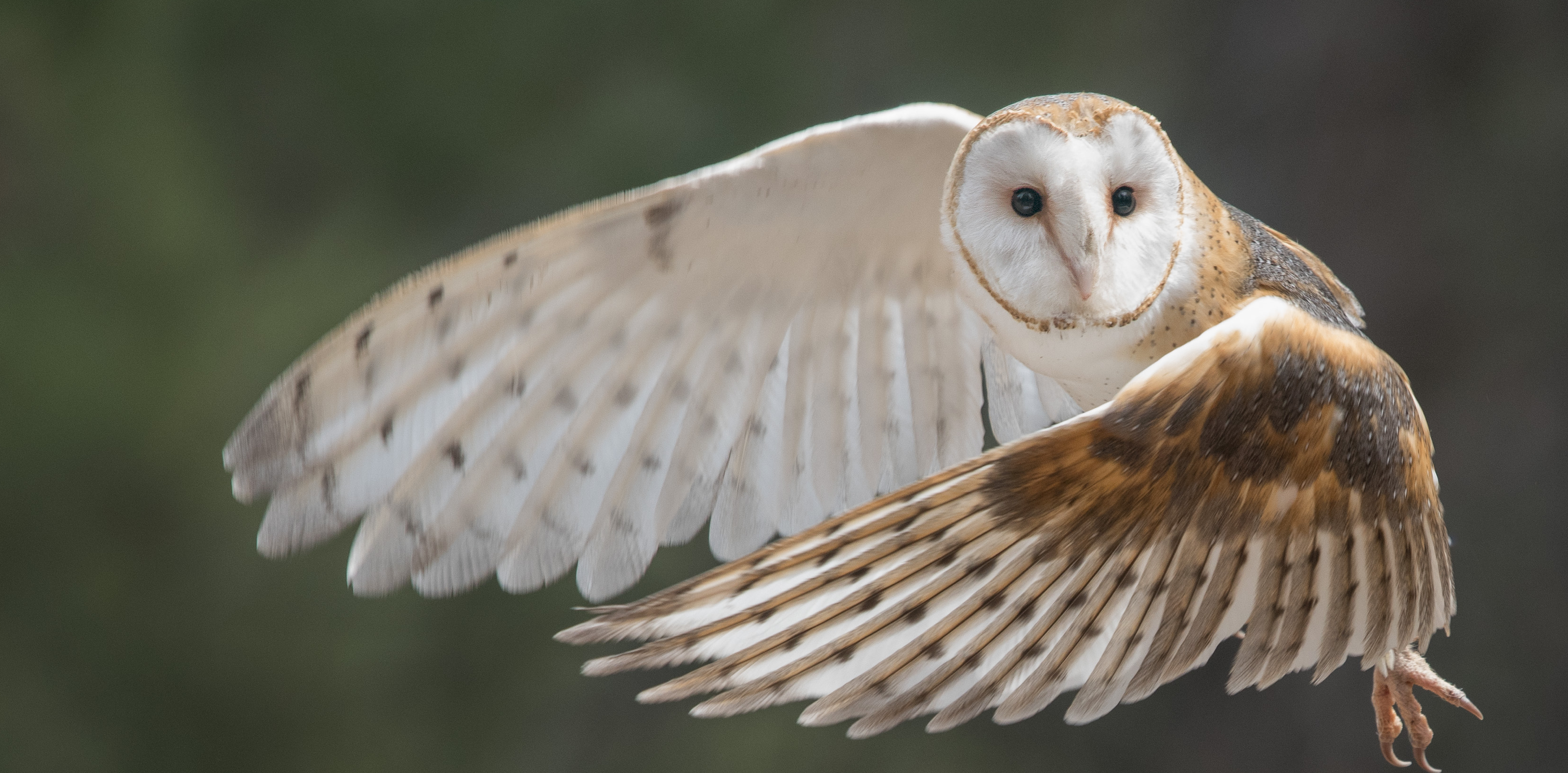 barn owl in flight high desert museum things to do in bend oregon