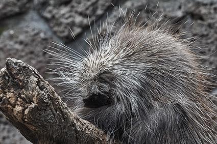 porcupine Erethizon dorsatum