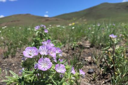 small purple native wildflowers bloom on hillside under blue sky
